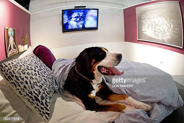 Atlas relaxes in the bed of one of the suites at D Pet Hotel Chelsea August 17 2012 in New York A true double bed with fluffy pillows a flatscreen TV...
