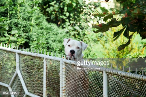 Attack dog at fence : Stock Photo