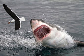 Attack seagull by great white shark