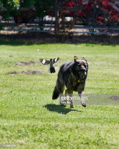 Attack of the Killer Mockingbird!