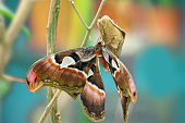 Attacus caesar, moth in Saturniidae family, southern Philippines. Beautiful big butterfly, in habitat.