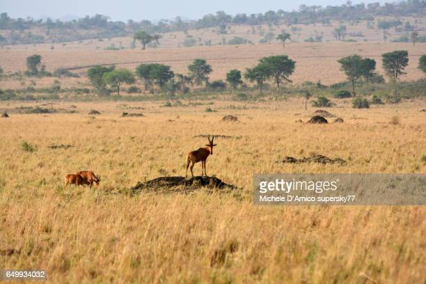 Attentive hartebeest on an anthill in the savannah