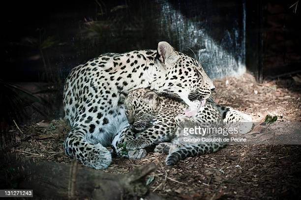 Atwomonthold Persian leopard cub rests with his mother at the Bioparco on November 3 2011 in Rome Italy The Persian leopard's habitiat is in the...