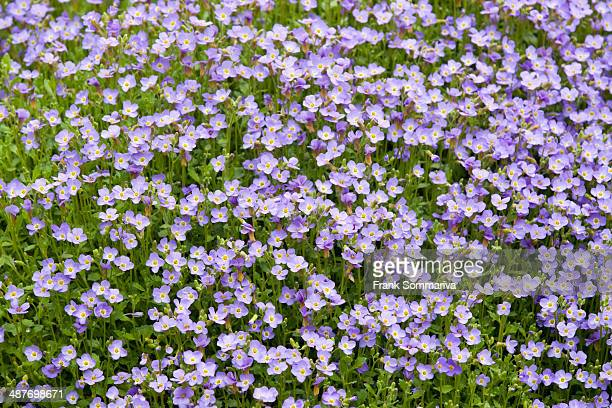 Aubrieta -Aubrieta gracilis-, flowering, Thuringia, Germany
