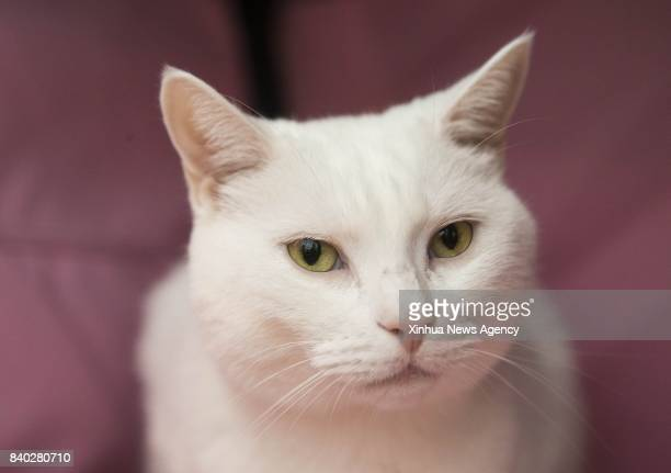 A pet cat is seen during a cat competition at Canadian National Exhibition in Toronto Canada Aug 27 2017 More than 125 cats from Canada participated...