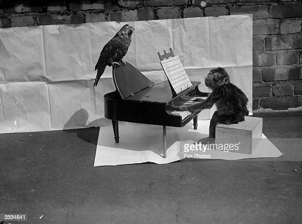 A monkey 'playing' a toy piano on which is perched a thoughtful looking parrot