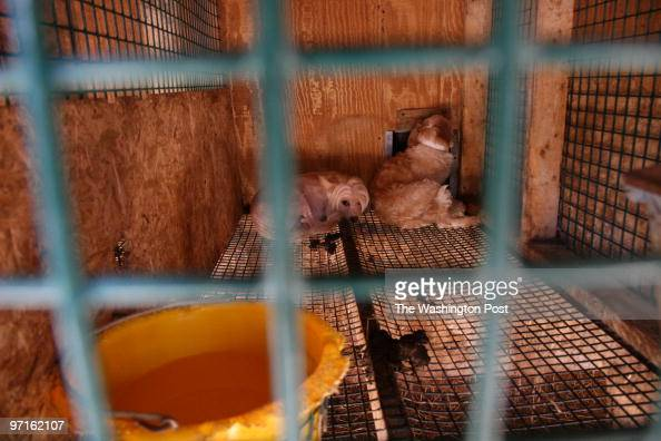 August 24 2008 CREDIT Carol Guzy/ The Washington Post Parkersburg WV In the largest puppy mill bust in West Virginia history nearly 1000 dogs were...