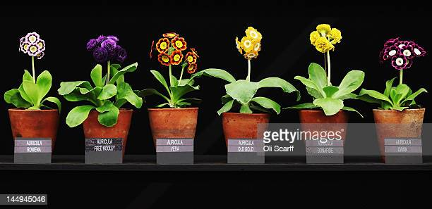 Auricula plants on display in the Great Pavilion at the Royal Horticultural Society's Chelsea Flower Show on May 21 2012 in London England The...
