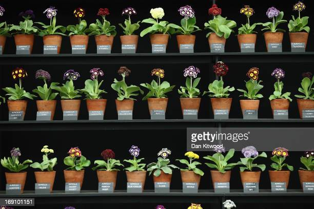 Auricula plants on display in the Great Pavilion during the Chelsea Flower Show on May 20 2013 in London England The Chelsea Flower Show run by the...