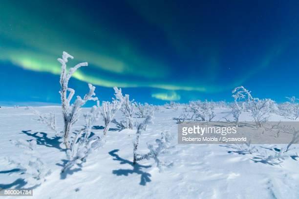 Aurora Borealis on frozen trees, Lapland, Sweden