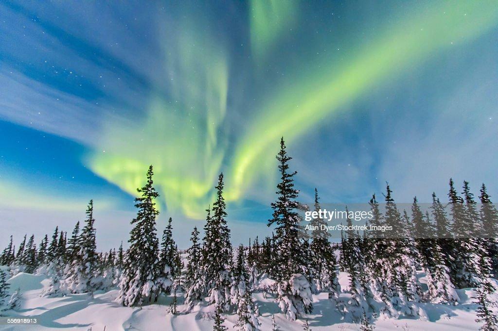 Aurora borealis over the trees in Churchill, Manitoba, Canada.