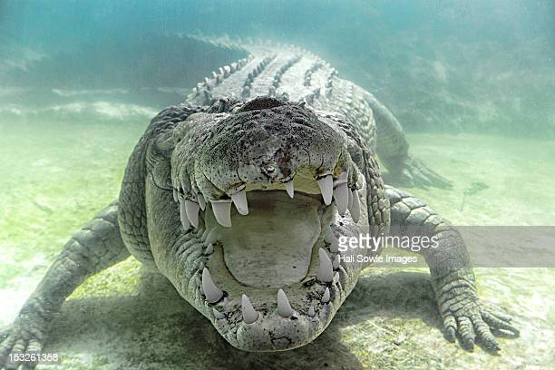 Austrailian Sea Crocodile