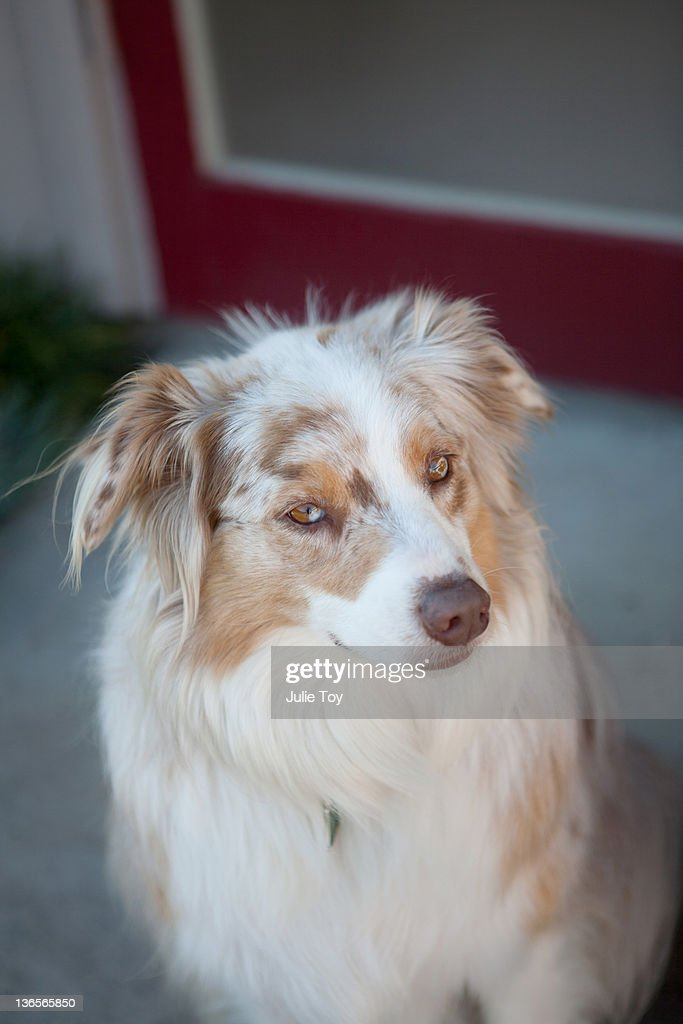 austrailian shepherd dog : Stock Photo