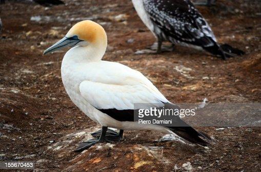 Australasian Gannet : Foto de stock