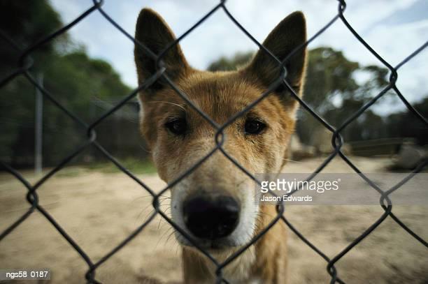 Australia. A rare alpine dingo behind a chain link fence.