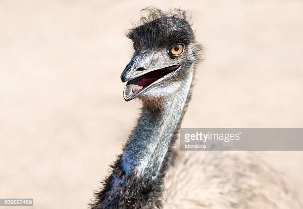 Australia, Cropped shot of emu looking at camera