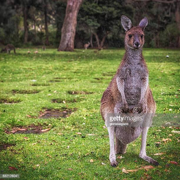 Australia, Kangaroo and joey