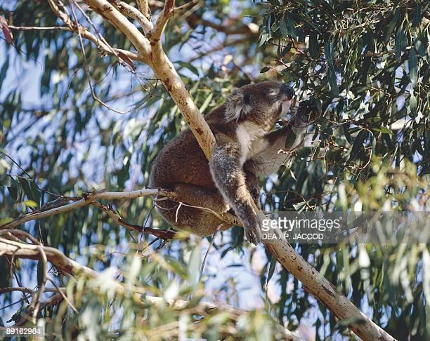 Australia Kangaroo Island Koala