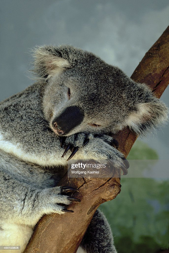 Australia, Koala Bear Sleeping.