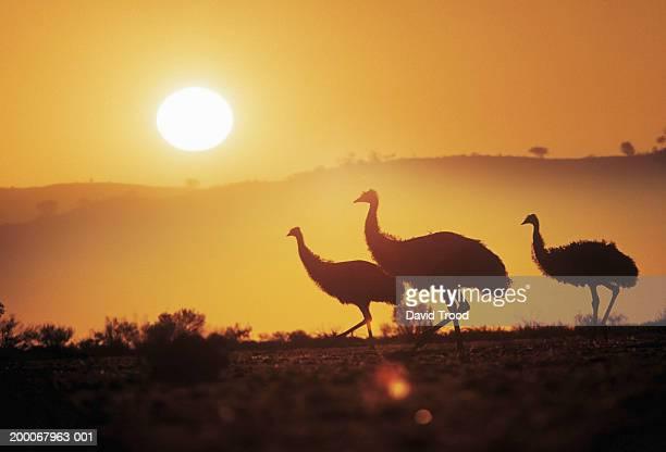 Australia, New South Wales, emus (Dromaius novaehollandiae), sunset