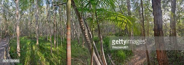 Australia, New South Wales, Pottsville, bamboo and melaleuca trees, Melaleuca
