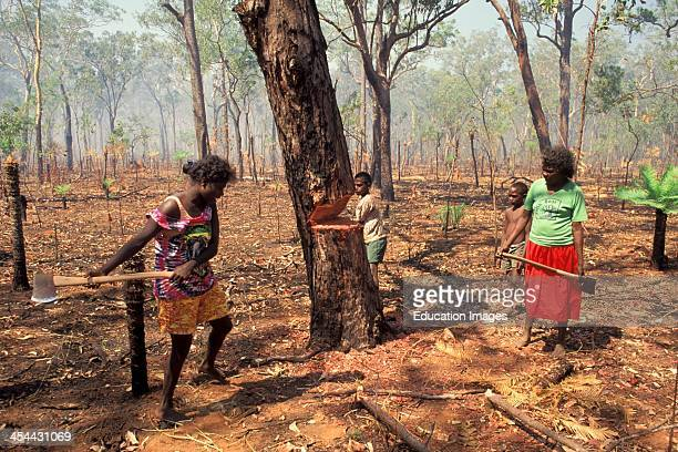 Australia Northern Territory Bathurt Island One Of Two Tiwi Aboriginal Islands Tiwis Chopping Tree For Possum Hunt
