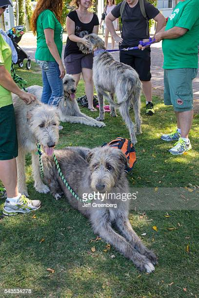 Australia Queensland Brisbane Southbank Parklands pets dogs Irish wolfhound large leash