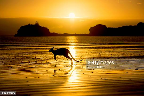 Australia, Silhouette of kangaroo on beach