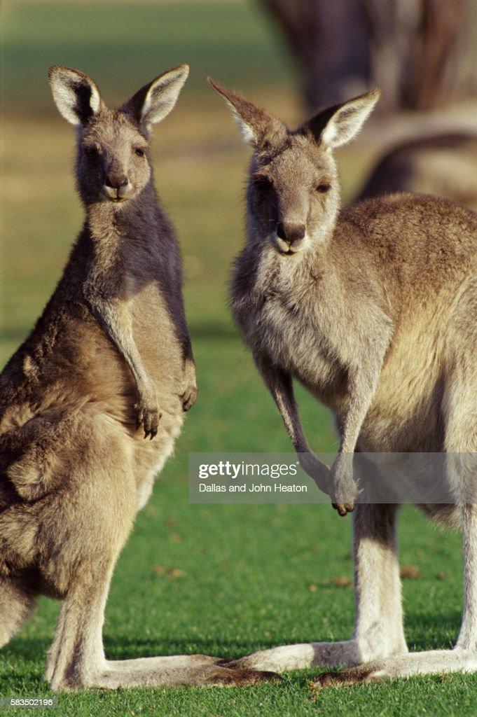 Australia, Victoria, Great Grey Kangaroos