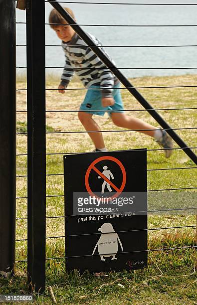 AustraliaanimalpenguinFEATURE by Amy Coopes This photo taken on September 4 2012 shows a boy running alongside a Little Penguin warning sign near...