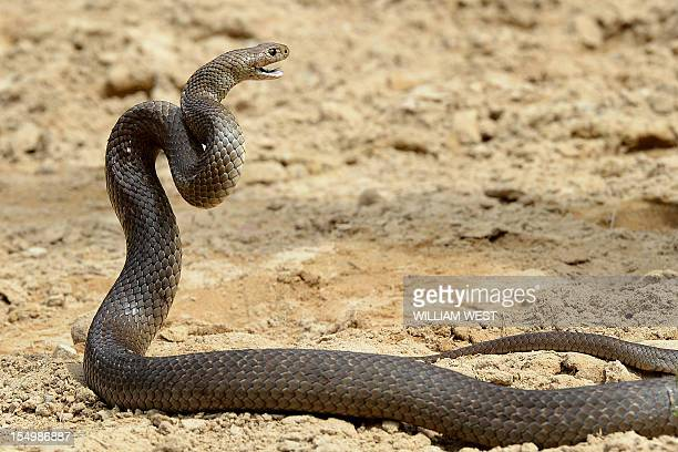 AustraliaanimalsnakesFEATURE by Amy Coopes This photo taken on September 25 2012 shows a deadly Australia eastern brown snake which has enough venom...