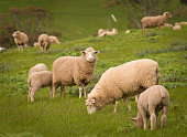 Australian Agriculture Landscape Group of Sheep in Paddock