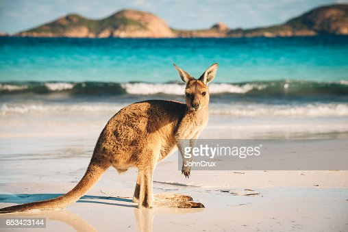 Australian beach Kangaroo portrait : Stock Photo