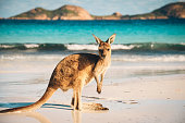 Kangaroo at Lucky Bay in the Cape Range National Park near Esperance, Western Australia