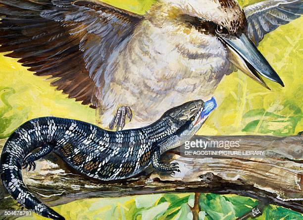 Australian bluetongued Skink Scincidae drawing