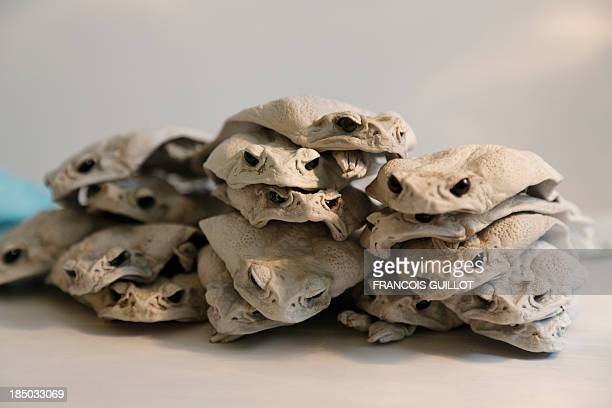 Australian cane toads used by Polish fashion designer Monika Jarosz to make bags and purses are pictured on October 9 2013 in Paris AFP PHOTO /...
