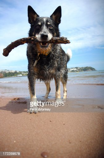 Australian Cattle Dog Holds a Stick on Beach for Fetch