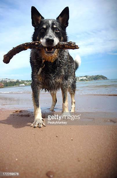 Pastor de ganado australiano cuenta con una barra en la playa para Fetch
