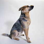 Australian Cattle Dog with a Dog Biscuit
