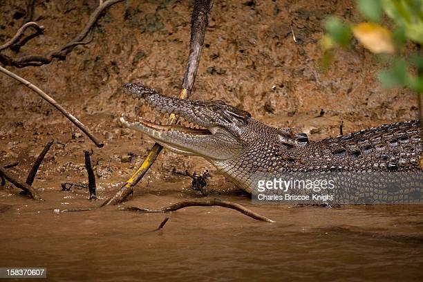 Australian Crocodile in Daintree River