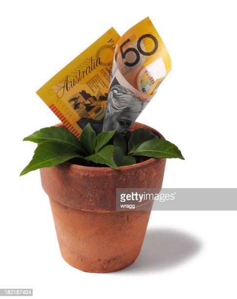 Australian Dollars Growing in a Terracotta Pot
