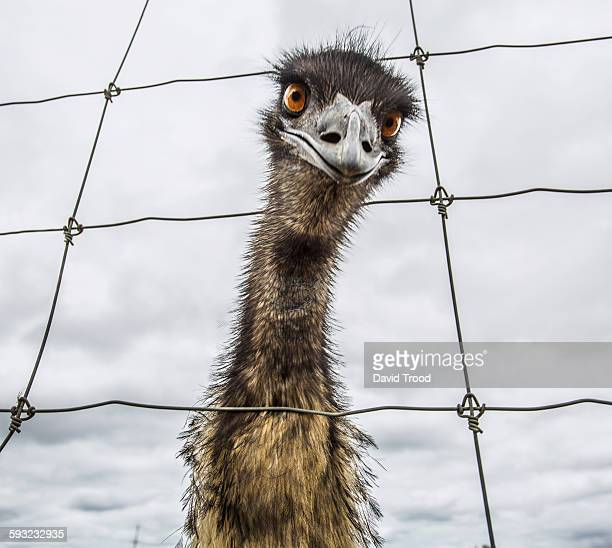 Australian Emu (Dromaius novaehollandiae)