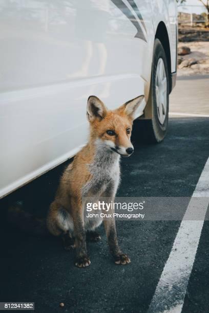 Australian fox