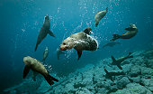 Australian Fur Seals, dog fight