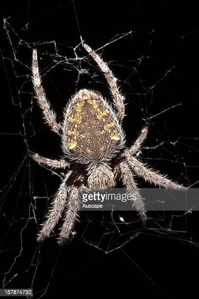 Australian Garden Orb Weaver Spider Stock Photos and Pictures