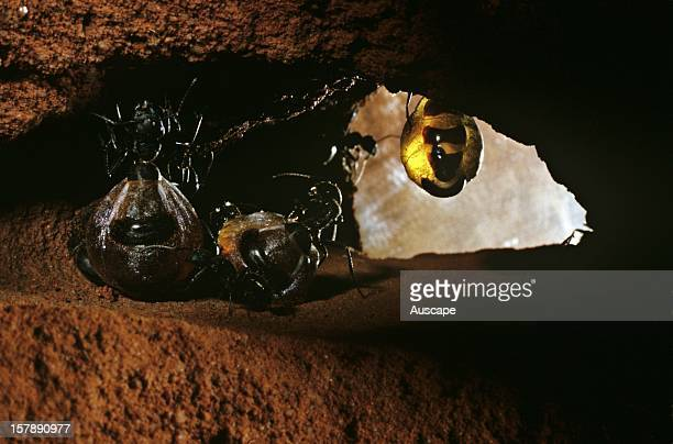 Australian honeypot ants REPLETES AND WORKERS IN STORAGE CHAMBER Amadeus Basin Northern Territory Australia