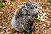 Australian koala bear native animal with baby on the back.