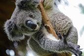 Australian koalas climbs to the tree in Guangzhou 'Chimelong Paradise', Guangdong province, October 15, 2014.