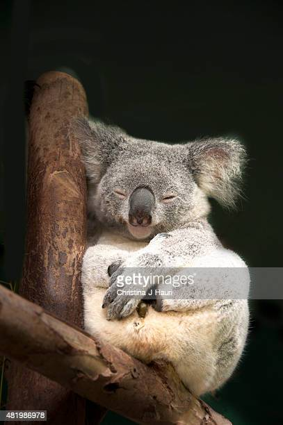 Australian Koala sleeping on wooden structure