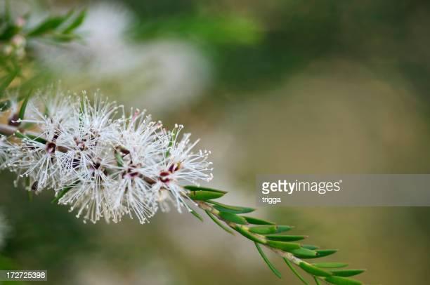 Australian Melaleuca flower